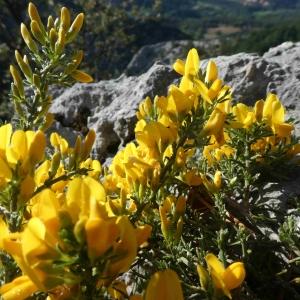 Photographie n°2297328 du taxon Genista sp.
