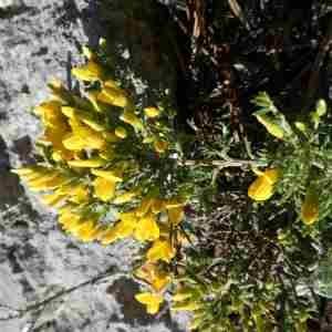 Photographie n°2297329 du taxon Genista sp.