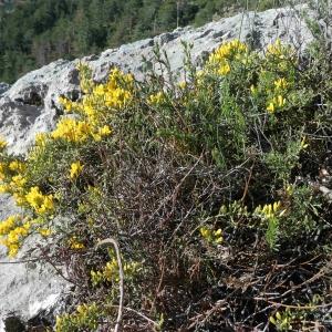 Photographie n°2297330 du taxon Genista sp.