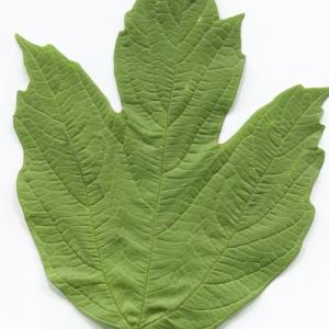 Photographie n°2297603 du taxon Viburnum opulus L. [1753]