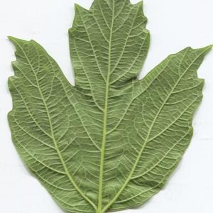 Photographie n°2297604 du taxon Viburnum opulus L. [1753]