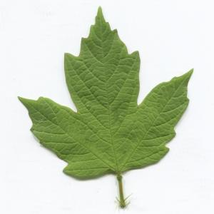 Photographie n°2297605 du taxon Viburnum opulus L. [1753]