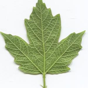 Photographie n°2297606 du taxon Viburnum opulus L. [1753]