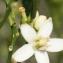 Liliane Roubaudi - Citrus sinensis (L.) Osbeck [1757]