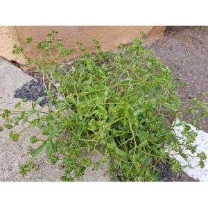 Valerianella microcarpa Loisel. (Doucette à petits fruits)