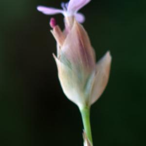 Petrorhagia velutina (Guss.) P.W.Ball & Heywood (Oeillet douteux)
