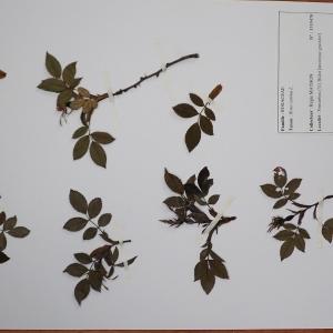 Photographie n°2298061 du taxon Rosa canina L. [1753]