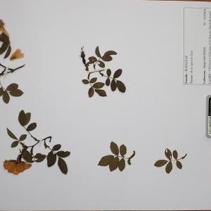 Photographie n°2298068 du taxon Rosa agrestis Savi [1798]