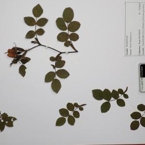 Photographie n°2298069 du taxon Rosa rubiginosa L.