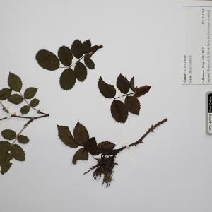 Photographie n°2298080 du taxon Rosa canina L. [1753]