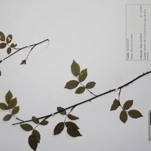 Photographie n°2298088 du taxon Rosa arvensis Huds. [1762]
