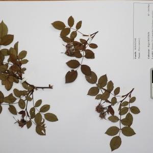 Photographie n°2298091 du taxon Rosa canina L. [1753]