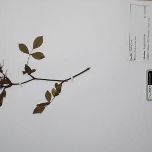 Photographie n°2298097 du taxon Rosa agrestis Savi [1798]