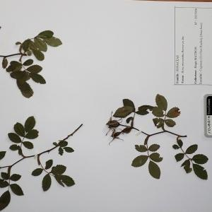 Photographie n°2298100 du taxon Rosa agrestis Savi [1798]