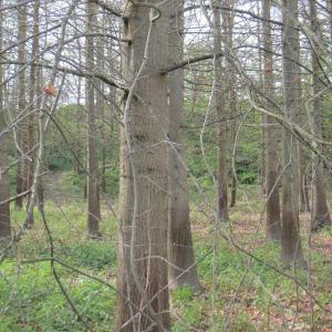 Photographie n°2298242 du taxon Quercus palustris Münchh.