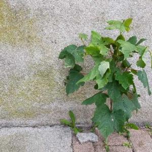Photographie n°2298306 du taxon Acer pseudoplatanus L.