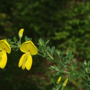 Photographie n°2298315 du taxon Cytisus scoparius subsp. scoparius
