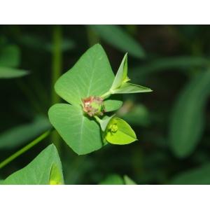 Euphorbia dulcis subsp. incompta (Ces.) Nyman f. incompta