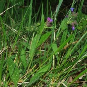 - Pulmonaria longifolia subsp. longifolia