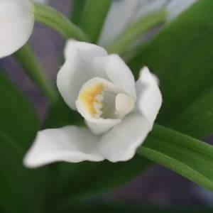 Photographie n°2298381 du taxon Cephalanthera longifolia (L.) Fritsch [1888]
