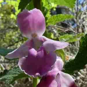 Photographie n°2298620 du taxon Melittis melissophyllum L. [1753]