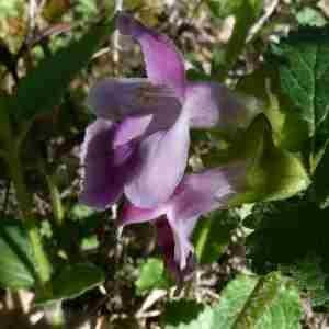 Photographie n°2298621 du taxon Melittis melissophyllum L. [1753]