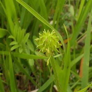 Photographie n°2299155 du taxon Ranunculus bulbosus L. [1753]
