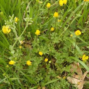 Photographie n°2299156 du taxon Ranunculus bulbosus L. [1753]