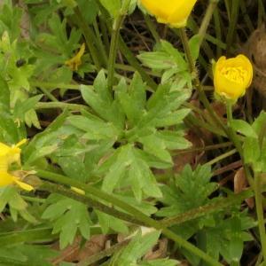 Photographie n°2299157 du taxon Ranunculus bulbosus L. [1753]