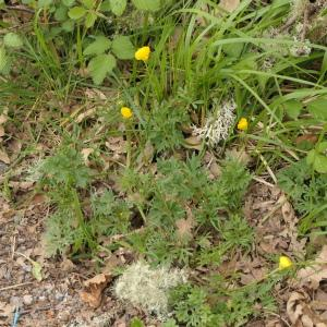 Photographie n°2299158 du taxon Ranunculus bulbosus L. [1753]