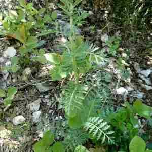 Photographie n°2299266 du taxon Tanacetum corymbosum (L.) Sch.Bip. [1844]