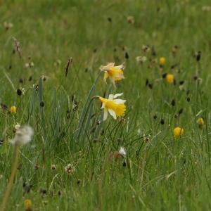 Photographie n°2299439 du taxon Narcissus pseudonarcissus L. [1753]
