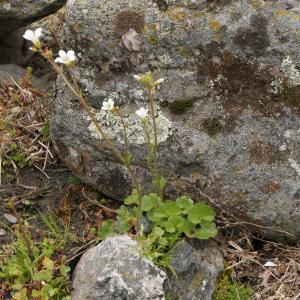 Photographie n°2299440 du taxon Saxifraga granulata L.