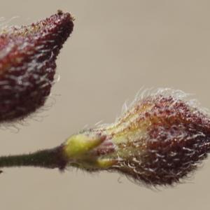 Photographie n°2299555 du taxon Silene gallica L. [1753]