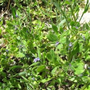 Photographie n°2299582 du taxon Asperugo procumbens L. [1753]
