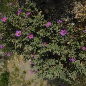 Photographie n°2299873 du taxon Cistus albidus L. [1753]