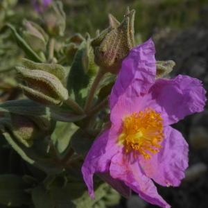 Photographie n°2299876 du taxon Cistus albidus L. [1753]