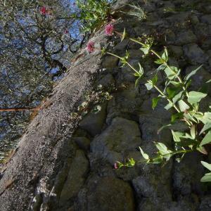 Photographie n°2299912 du taxon Centranthus ruber (L.) DC. [1805]