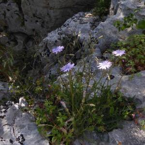 Photographie n°2299924 du taxon Lactuca perennis L.