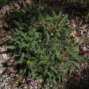 Photographie n°2300034 du taxon Astragalus L.