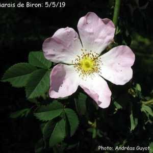 Photographie n°2300133 du taxon Rosa canina L. [1753]