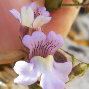 Photographie n°2300184 du taxon Chaenorhinum origanifolium (L.) Kostel. [1844]