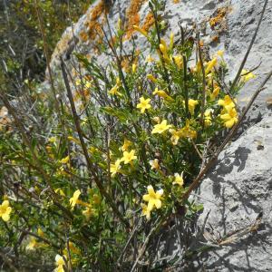Photographie n°2300185 du taxon Jasminum fruticans L. [1753]