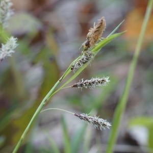 Photographie n°2300726 du taxon Carex flacca Schreb. [1771]