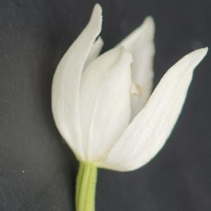 Photographie n°2300852 du taxon Cephalanthera longifolia (L.) Fritsch [1888]