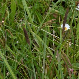 Photographie n°2300970 du taxon Carex flacca Schreb. [1771]