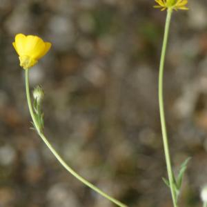 Photographie n°2301079 du taxon Ranunculus bulbosus L. [1753]