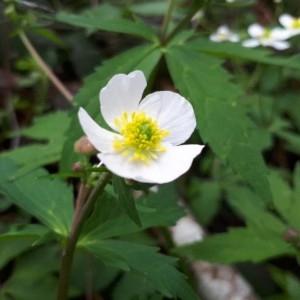 Photographie n°2301175 du taxon Ranunculus aconitifolius L. [1753]