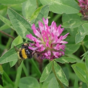 Trifolium pratense L. (Trèfle commun)