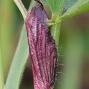 Photographie n°2301329 du taxon Trifolium pratense L. [1753]